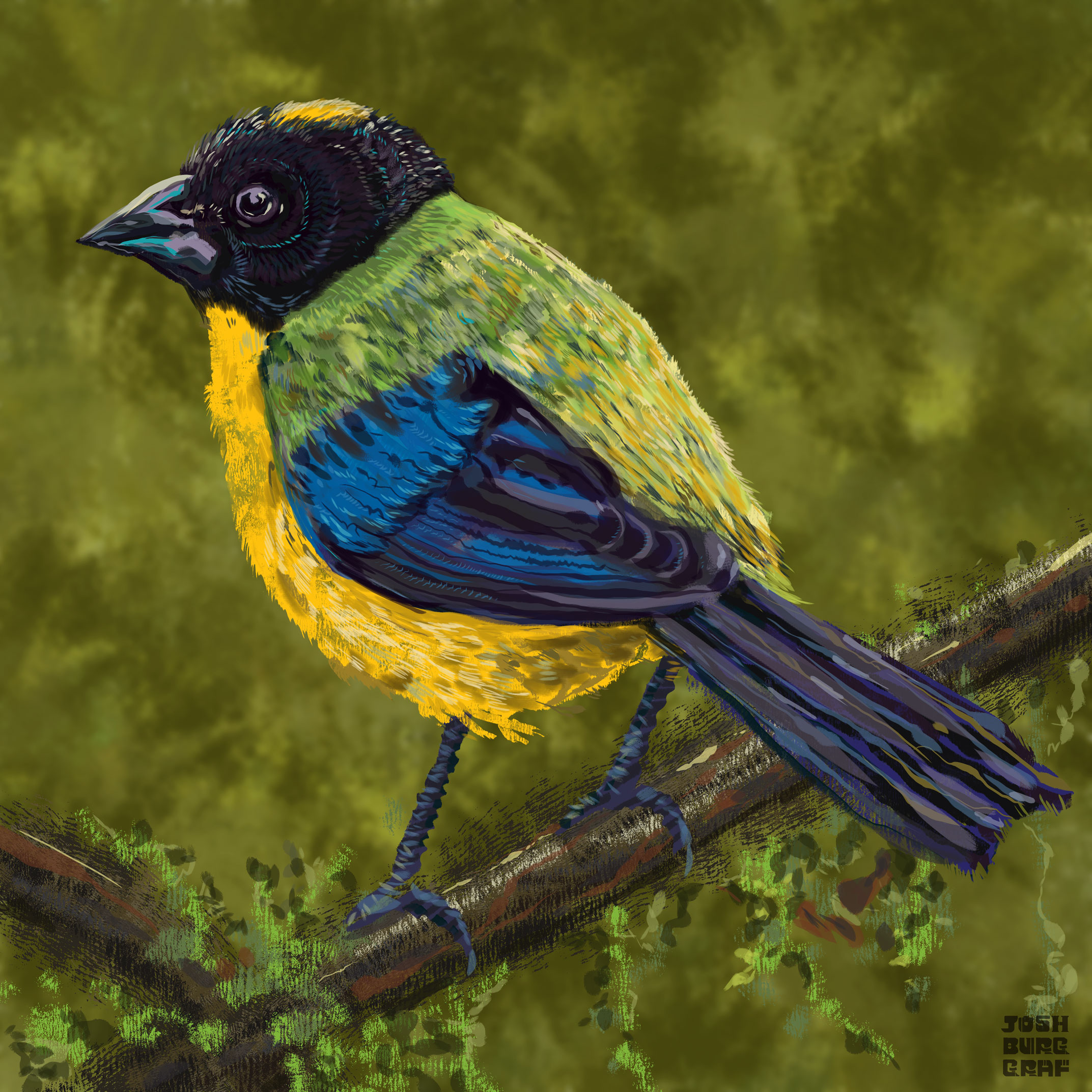 blackchinnedmtntanager_01